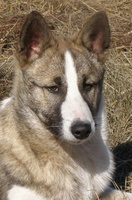 Породные ветки северных охотничьих и ездовых собак 5378-82