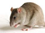 Vieux rat